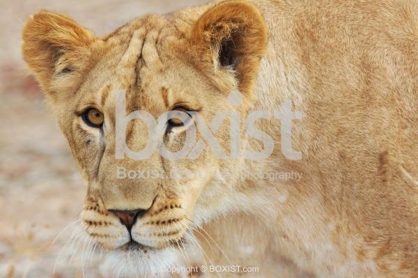 Head of Walking Lioness