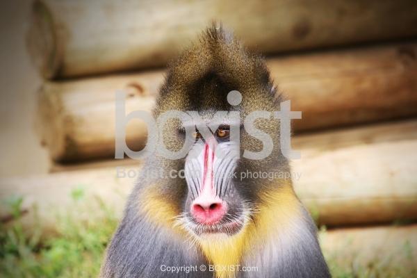 Male Mandrill Monkey