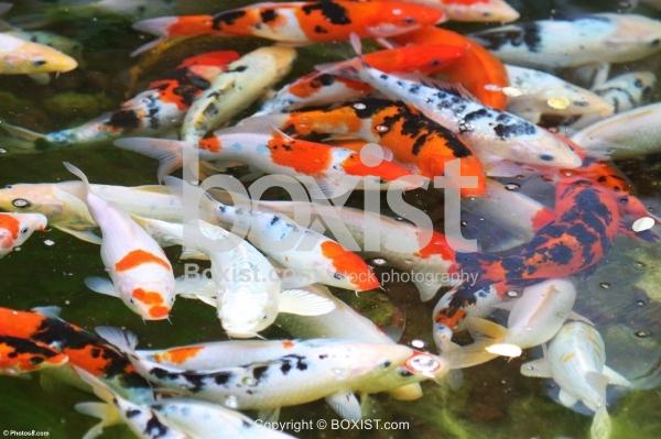 Koi Fish In Water