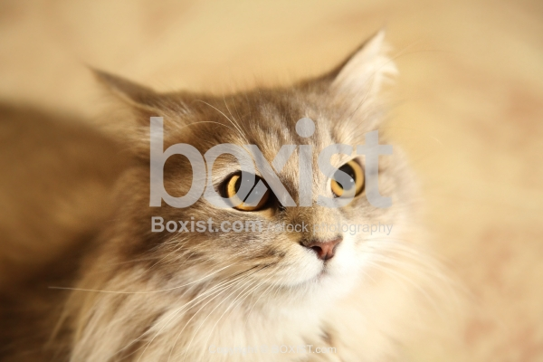 Siberian Cat Staring