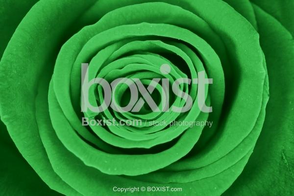 Closeup Of Green Rose