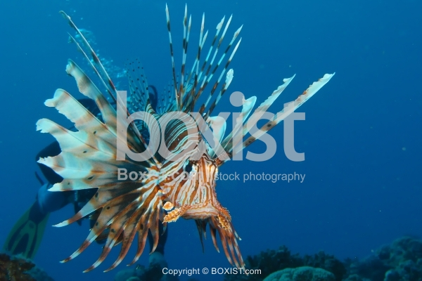 Devil Firefish Underwater