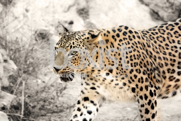 Persian Leopard Walking