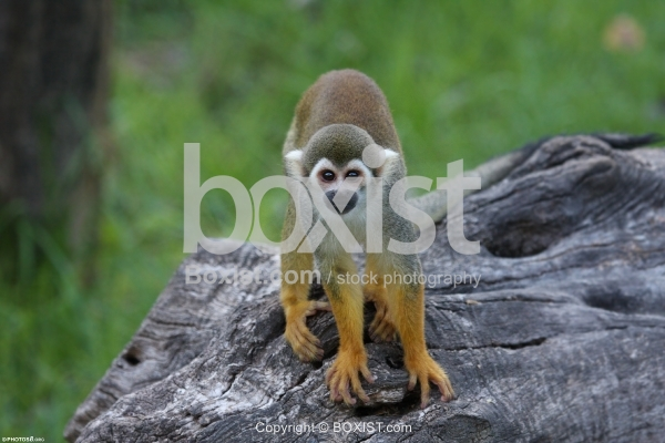 Squirrel Monkey Standing On Tree Branch