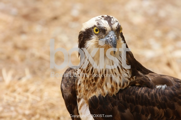 Golden Eagle Staring