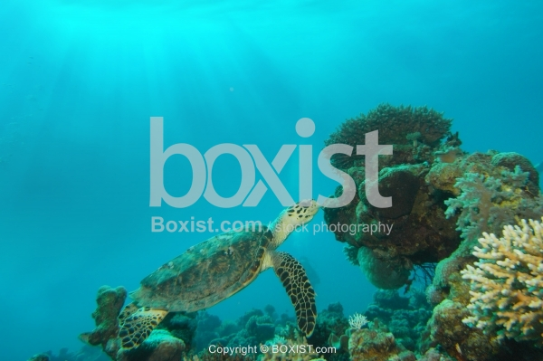Sea Turtle Swimming Forward Surface