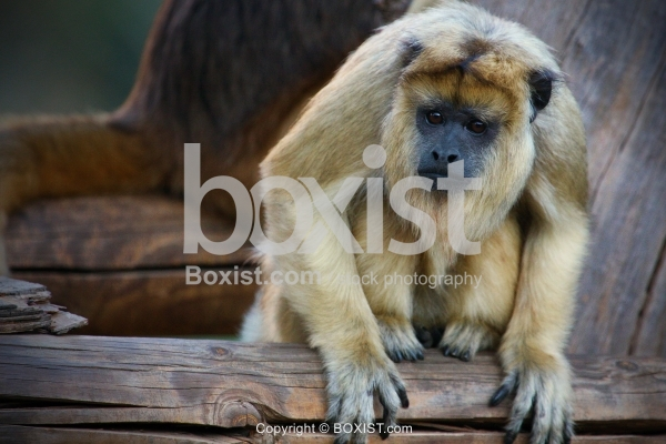 Gold Howler Monkey Sitting On Tree
