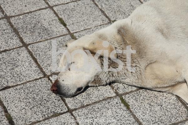 White Dog Sleeping On Pavement
