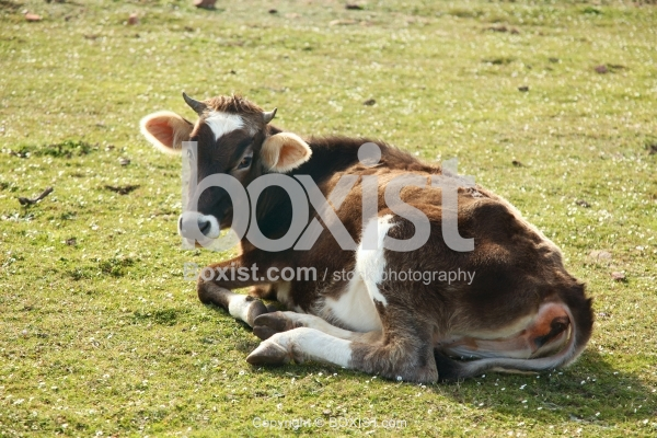 Young Bull Lying On Grass