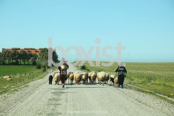 Shepherd Women Leads a Flock of Sheep