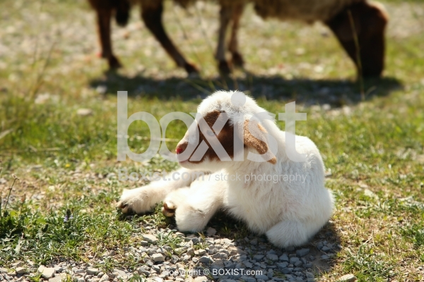 White And Brown Baby Sheep