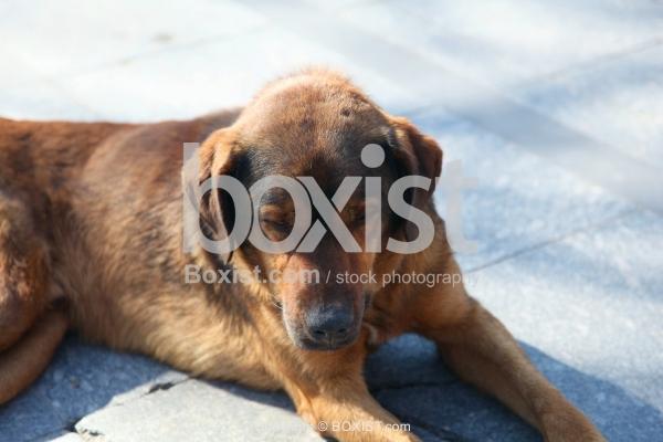 Sleeping Brown Dog