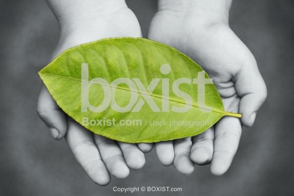 Child Hands Holding Large Green Leaf