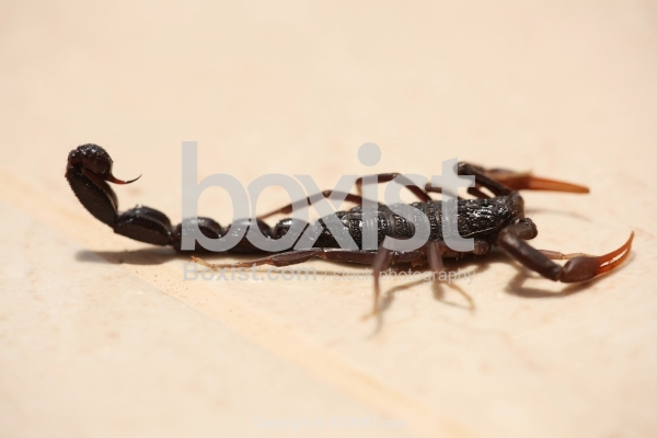 Dark Brown Scorpion