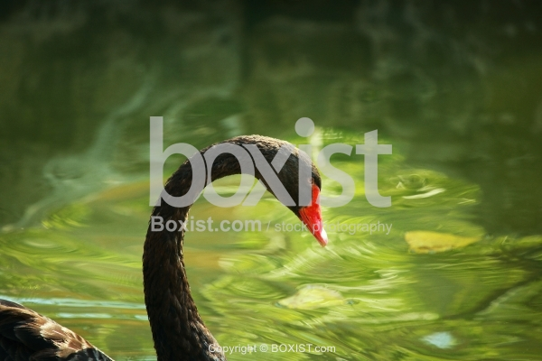 Elegant Black Swan With Long Neck