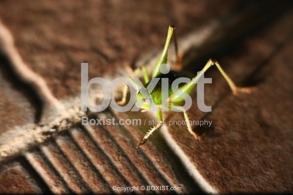 Green Grasshopper On Tile Stone