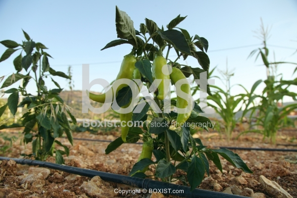 Green Pepper On The Vine