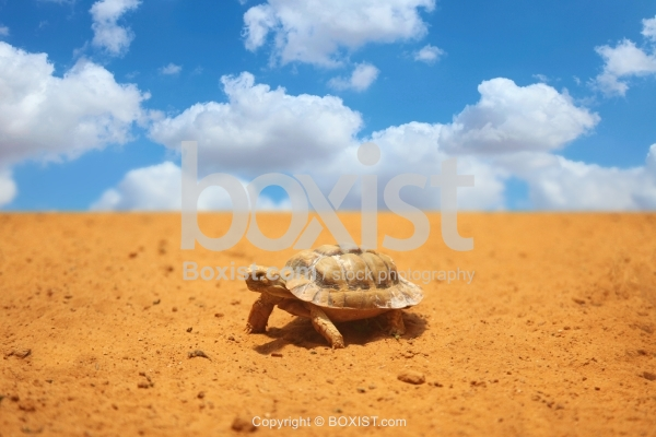 Negev Tortoise Walking On Sand