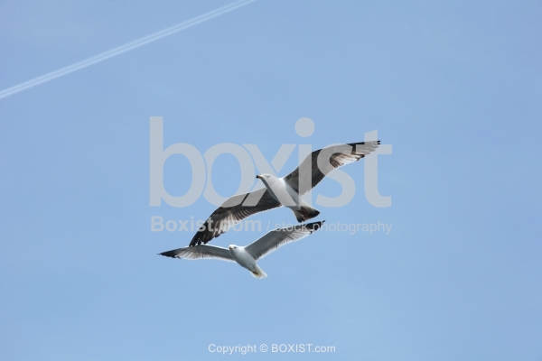 Two Seagulls Flying In The Sky
