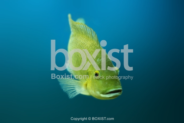 Yellow Saint Peter Fish In Water