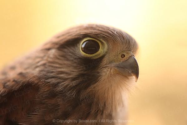 Saker Falcon Head Portrait