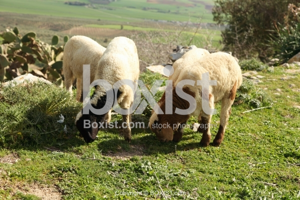 Sheep Grazing In Nature