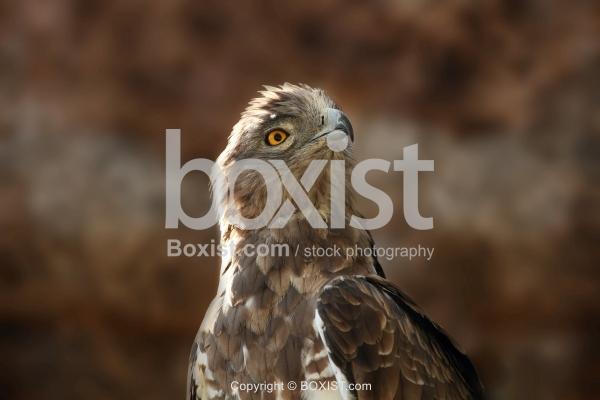 Short Toed Snake Eagle Head Portrait