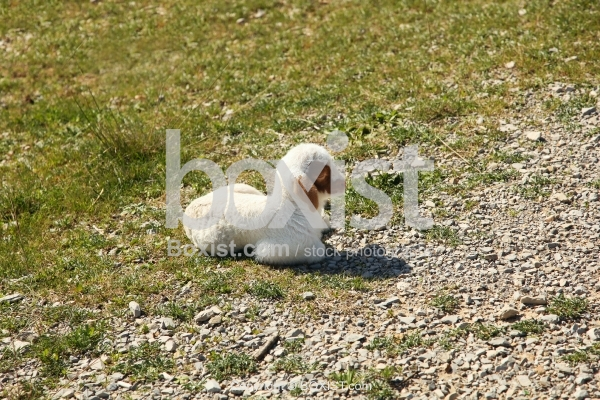 White Baby Sheep Sitting On Grass