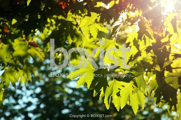Maple Green Leaves with Sun Rays