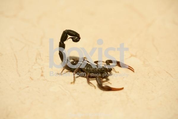 Scorpion on the Floor