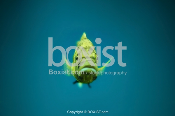 Yellow Astatotilapia Flaviijosephi Fish