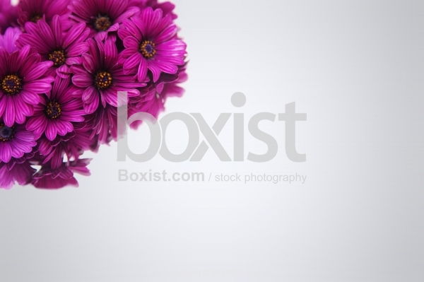 Osteospermum Purple Flowers On Bright Background