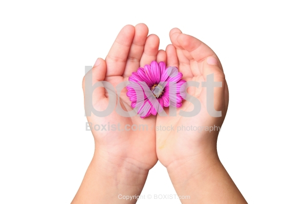 Osteospermum Purple Flower in Hand