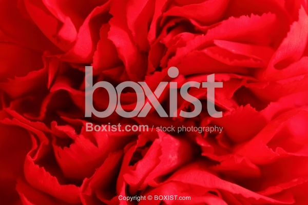 Red Flower Petal Background