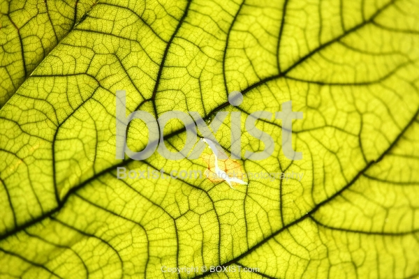 Green Leaf With Veins Texture