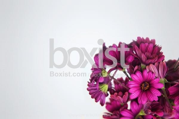 Osteospermum Purple Flower Corner Background