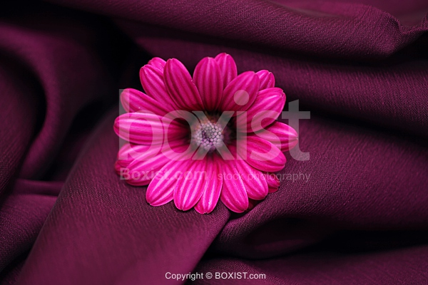 Closeup Of Osteospermum Flower On Purple Silk Background