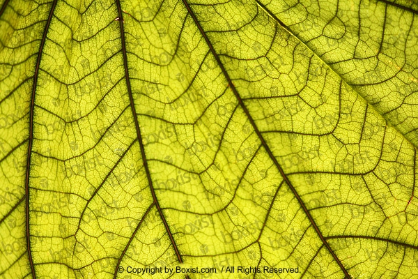 Macro Of Green Leaf With Veins