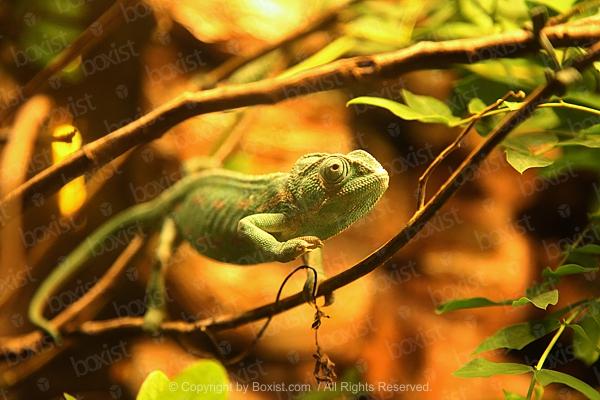 Green Common Chameleon On Branch