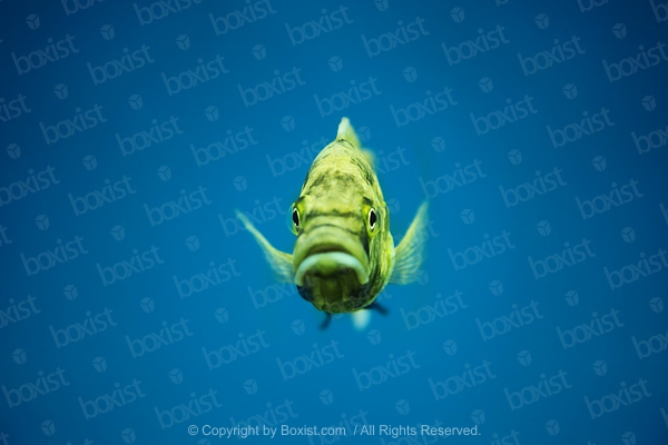 Small Yellow Fish In Water