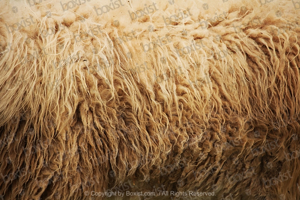 Sheep Fur
