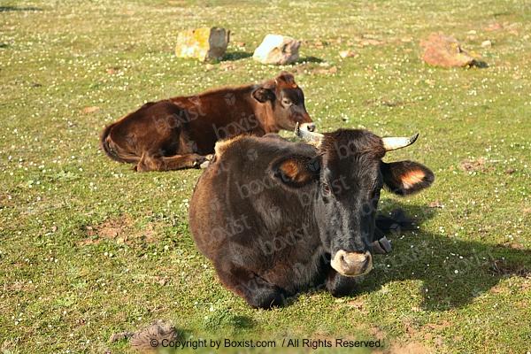 Young Bulls Lying on Grass