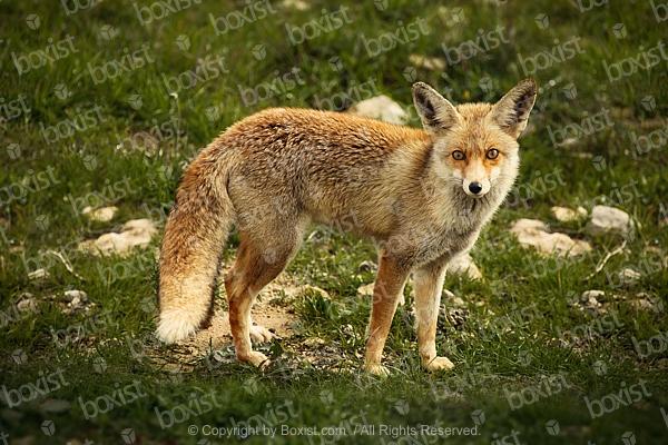 Vulpes Vulpes Fox In Wildness