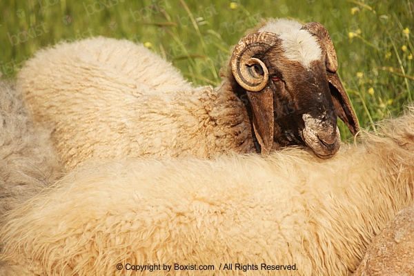 Sheep With Small Curly Horns