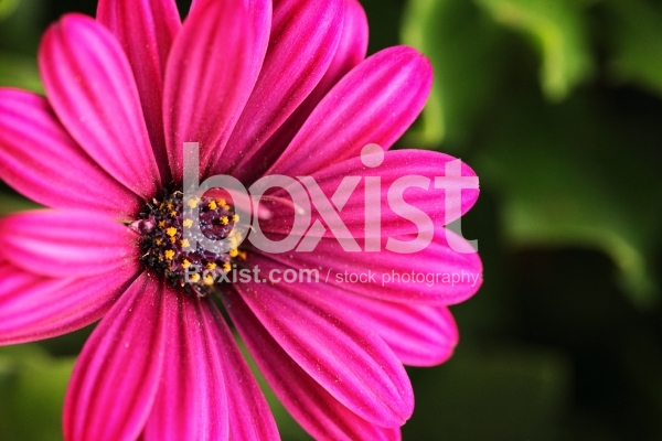 Popping Dark Pink Daisy Flower