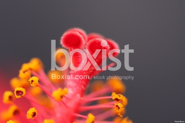 Tiny Rosemallows Flower