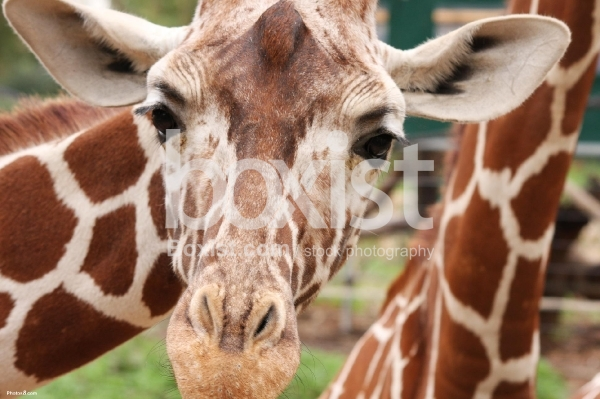 Giraffe Head Staring