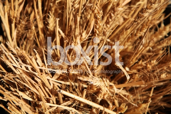 Yellow Dry Wheat
