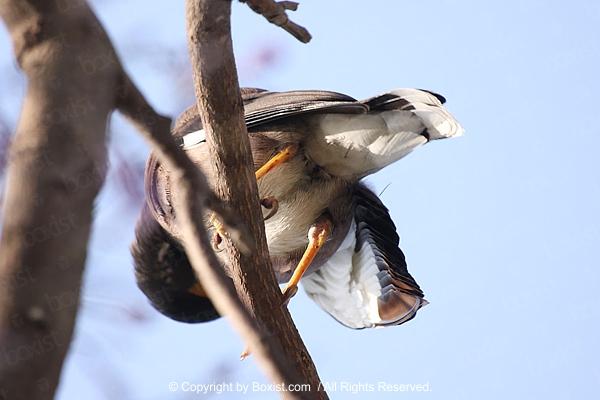 Myna Bird on Tree Branch