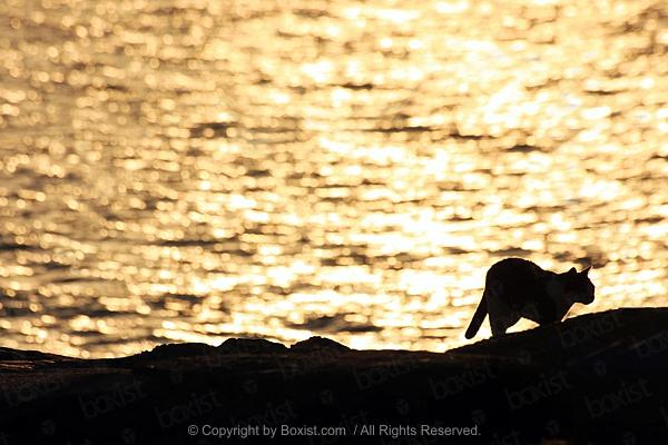 Walking Cat at Sunset Water